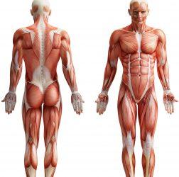 Votre métabolisme vous tient en vie et pour que vos organes fonctionnent normalement, comme respirer, réparer les cellules et digérer les aliments.